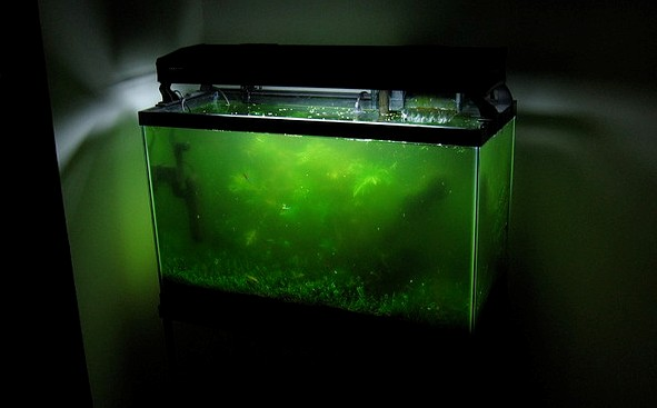 Algae-disaster-fish-tank-photos cropped